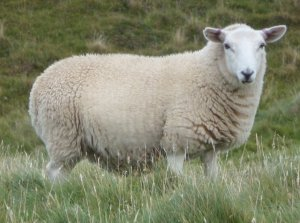 A quizzical sheep